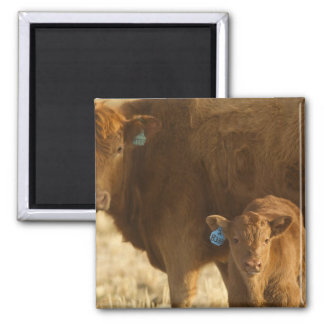 Crossbred cow with calf near Choteau, Montana, Magnet