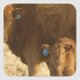 Crossbred cow with calf near Choteau, Montana, Square Sticker