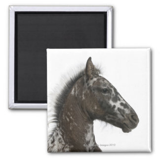 crossbreed Foal between a Appaloosa and a Square Magnet