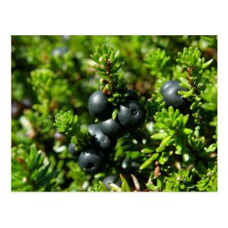 Crowberries on Unalaska Island Postcard