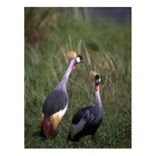 Crowned Cranes Postcard