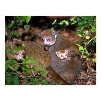 Crowned Lemur pair with infant Postcard