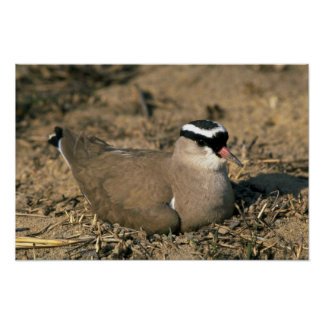 Crowned Plover Poster