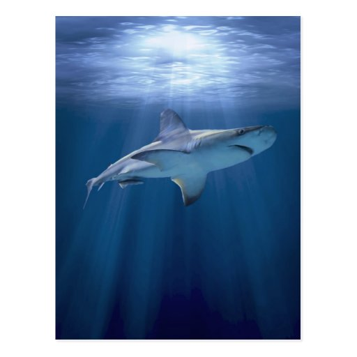 Cruising Shark Post Cards