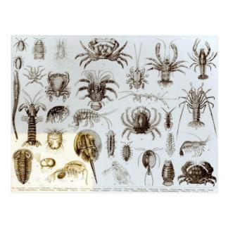 Crustacea and Arachnida Postcard