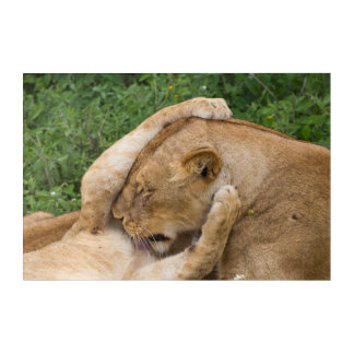 Cub Playing with Lioness Acrylic Print