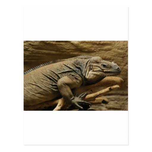 Cuban Iguana Post Card