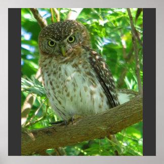 Cuban Pygmy Owl Animal Feather Tree Nature Destiny Poster