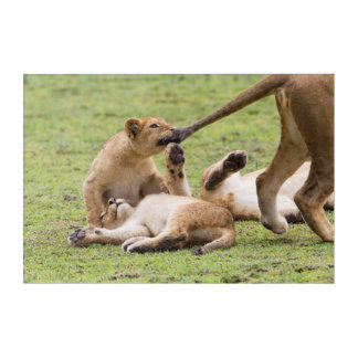 Cubs Playing with Lioness Acrylic Print
