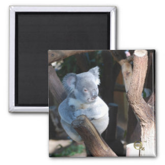 Cuddly Koala Magnet