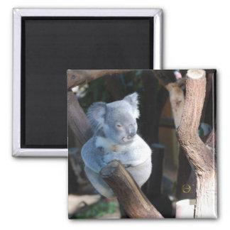 Cuddly Koala Square Magnet