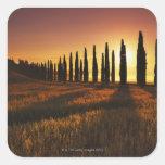 (cupressus sempervirens) - Europe, Italy, Sticker