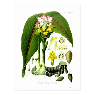 Curcuma zedoaria postcard