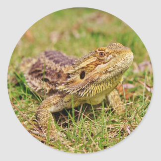 Curious Bearded Dragon 2 Round Sticker