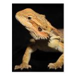 Curious Bearded Dragon 3 Postcard