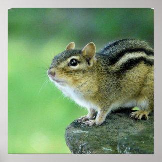 Curious Chipmunk  Poster