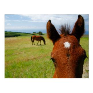 Curious colt horizontal postcard
