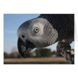 Curious Congo African Grey Parrot Greeting Card