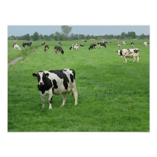 Curious Dutch Dairy Cows Poster Print Gifts