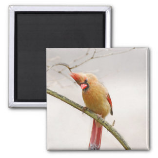 Curious Female Cardinal Magnet