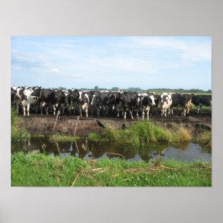 Curious Frisian Holstein Cows Poster