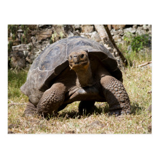 Curious Giant Tortoise | Galapagos Postcard