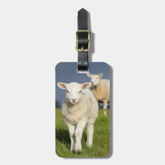 Curious lamb approaches to camera luggage tag