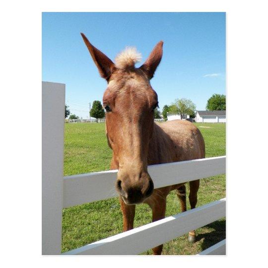 Curious Mule Postcard