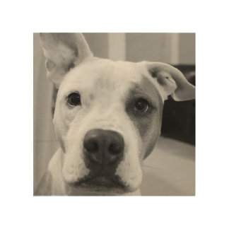 Curious Pitty Bull Wood Prints