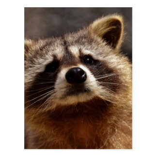 Curious Raccoon Postcard