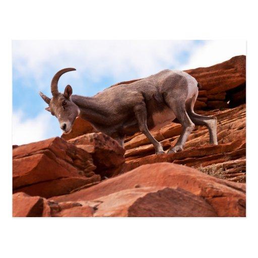 Curious Rock Climber Post Card