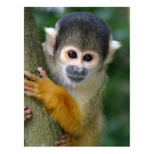 Curious squirrel monkey postcard