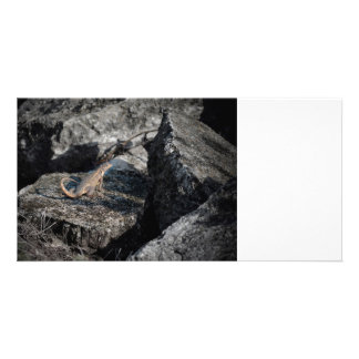 curly tailed lizard looking back reptile florida picture card