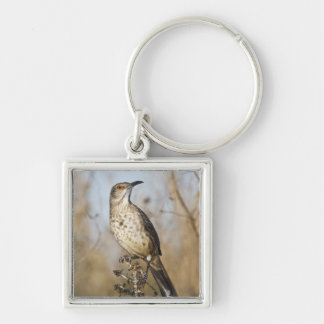 Curve-billed thrasher perched Silver-Colored square key ring