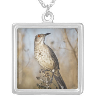 Curve-billed thrasher perched silver plated necklace