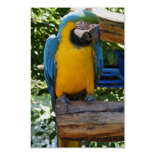 Customisable Blue and Gold Macaw Poster
