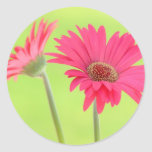 Customisable Pink Gerber Daisies on Green Round Stickers