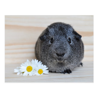 Cute Agouti Guinea Pig with Daisies Postcard