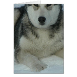 Cute Alaskan Malamute Greeting Card
