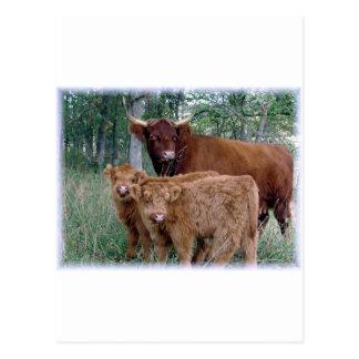 Cute and adorable fluffy fatty Highland calves Postcard