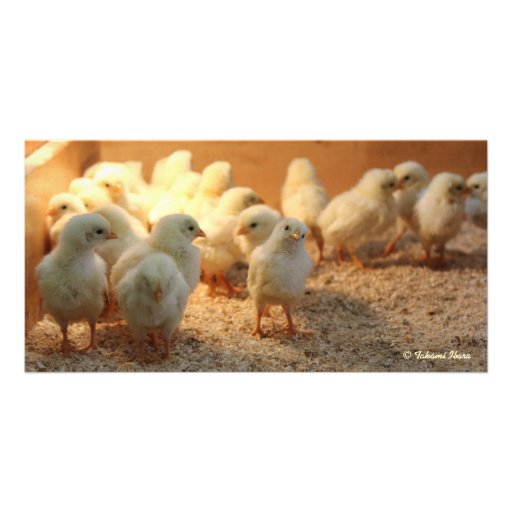 Cute Baby Chicks (it is lovely the chick) Photo Cards