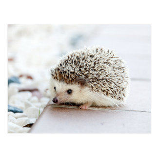 Cute Baby Hedgehog Postcard