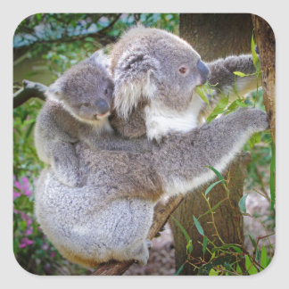 Cute baby koala bear with mom in a tree square sticker