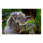 Cute baby koala bear with mum in a tree poster