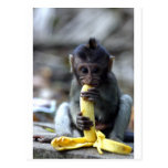 Cute baby macaque monkey eating banana postcard