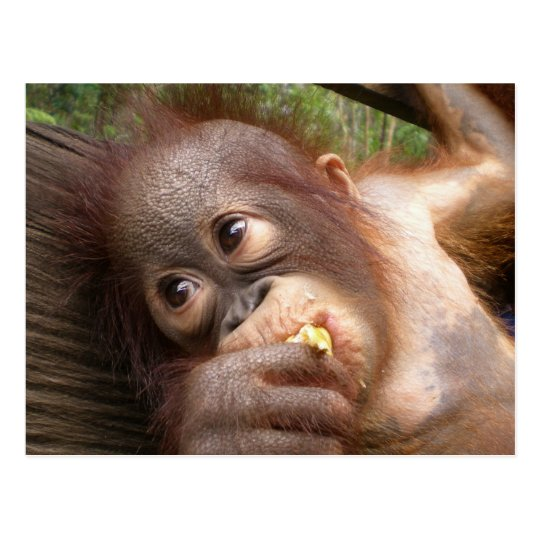 Cute Baby Orangutan Dreams of Mummy Postcard