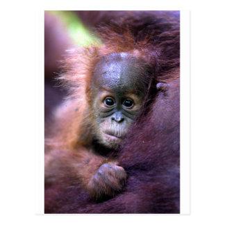 Cute baby orangutan in Sumatra Postcard