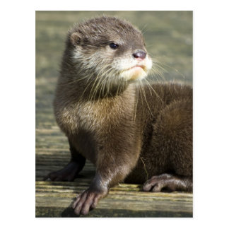 Cute Baby Otter Postcard