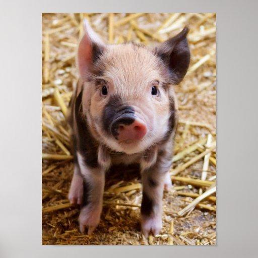 Cute Baby Piglet Farm Animals Barnyard Babies Posters