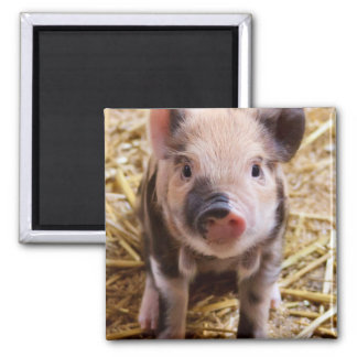 Cute Baby Piglet Farm Animals Barnyard Babies Square Magnet